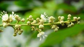 Litchi kwiaty które już kwitną Fotografia Stock