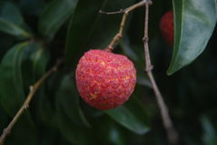 Litchi mature Stock Photo