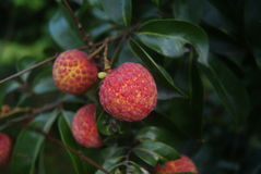 Litchi mature Royalty Free Stock Photos