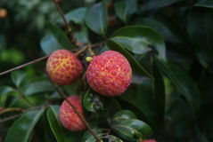 Litchi mature Stock Image