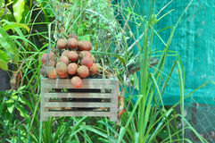 Litchi in plant pot Stock Images