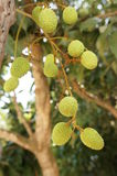 Litchi plant in thailand Stock Image