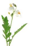 Litchi-tomato Solanum sisymbriifolium. Solanum sisymbriifolium common names: vila-vila, sticky nightshade, red buffalo-bur, fire-and-ice plant, litchi tomato Royalty Free Stock Photography
