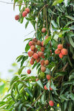 Litchi on tree Royalty Free Stock Image