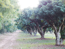 Litchi trees in the farm. Lychee orchard. Row of litchi trees in the farm. Lychee orchard Royalty Free Stock Image