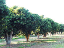 Litchi trees in the farm. Lychee orchard. Row of litchi trees in the farm. Lychee orchard Royalty Free Stock Images