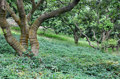 Litchi trees on hillside. Litchi trees on brae of hillside, the trunk in radiative shape, with green grass land Royalty Free Stock Photo