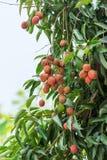 Litchiplommon på träd Royaltyfri Bild