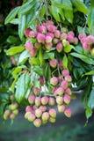 Litchiplommonet bär frukt, lokalt kallat Lichu på ranisonkoil som är thakurgoan, Bangladesh royaltyfri bild