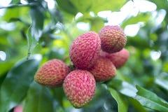 Litchiplommonet bär frukt, lokalt kallat Lichu på ranisonkoil som är thakurgoan, Bangladesh royaltyfri foto