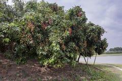 Litchiplommonet bär frukt, lokalt kallat Lichu på ranisonkoil som är thakurgoan, Bangladesh arkivbilder