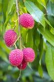 Litchiplommonet bär frukt, lokalt kallat Lichu på ranisonkoil som är thakurgoan, Bangladesh arkivfoton