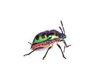 Litchiplommonfel, Tong Taek Bug, Chrysocoris stollii på den vita backgroen Arkivbild
