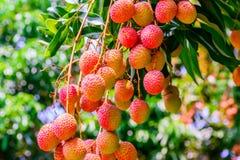 Litchiplommonfrukt (asia frukt) på trädet Fotografering för Bildbyråer