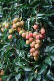 Litchiplommonfrukt på träd Arkivfoton