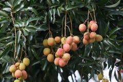 Litchiplommonfrukt på träd Arkivbilder