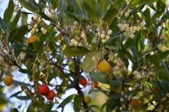 Litchiplommonfrukter och blommor Royaltyfria Foton