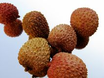 Litchis Royalty Free Stock Photo