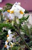 litchitomat Royaltyfria Foton