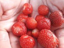Lite av inhemska organiska jordgubbar på gömma i handflatan royaltyfri bild