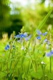 Lite blåa Veronica-chamaedrys på en äng arkivbilder