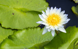 Lite blue water lily with green leafs Stock Photography