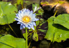 Lite blue water lily Stock Image