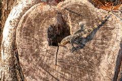 Lite bor vattenbildskärmen, som kallade den Varanus salvatoren, i ett trädhål Arkivbilder