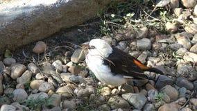 Lite bygger fågeln redefågeln samlar litet ris för redebyggnad lager videofilmer