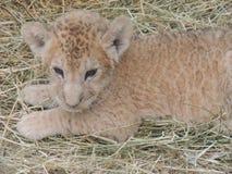 Lite Cheetah Arkivbilder