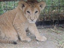 Lite Cheetah Royaltyfria Foton