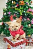 Lite chihuahuahund i hjorthorn och nytt års dräkt på bakgrunden av julgranen fotografering för bildbyråer