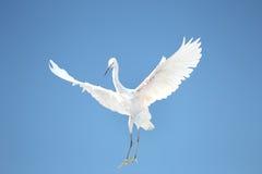 Lite egret arkivfoton