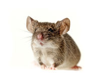 Lite en mus Arkivfoton