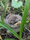 Lite fågelunge royaltyfri fotografi