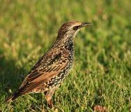 Lite fågel i ett gräs Fotografering för Bildbyråer