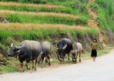 Lite flicka med bufflar på bygd i Yen Bai, Vietnam Arkivfoto