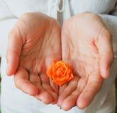 Lite gömma i handflatan apelsinrosen på en kvinna` s Begreppet av mjukhet och hälsa för kvinna` s arkivfoto