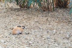 Lite grävde brunt kaninsammanträde på torra grå färger upp malt nära royaltyfria bilder