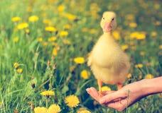 Lite gul duckling Arkivbilder