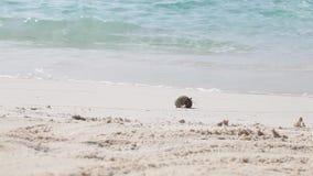 Lite kör krabban över stranden arkivfilmer