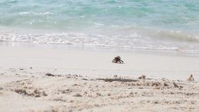 Lite kör krabban över stranden stock video