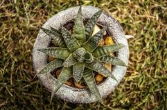 Lite kaktus Royaltyfria Foton