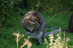17 _lite kangaroo_2009-0814-0001 för _01 Arkivbilder
