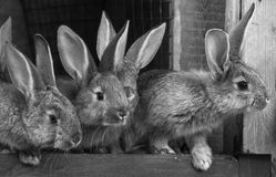 Lite kaniner Kanin i lantgårdbur eller kaninbur Föda upp kaniner c Arkivfoto