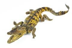 Lite krokodil. Royaltyfri Fotografi