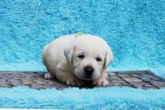 Lite labrador valp på en blå bakgrund Royaltyfria Foton