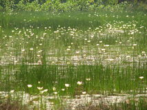 Lite lotusblommor eller vatten Arkivbilder