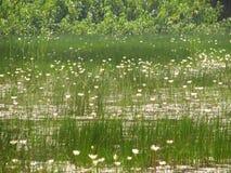 Lite lotusblommor eller vatten Arkivfoton