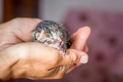 Lite nyfödd kattunge i händer av en kvinna Symbol av protectien royaltyfria bilder